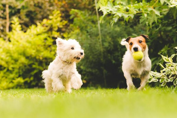 White Dog and Brown Dog with Tennis Ball